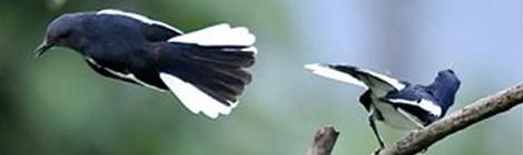 Kacer terbang